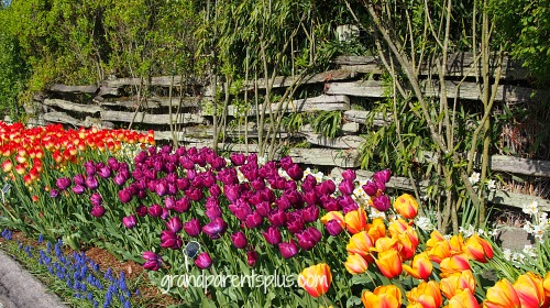 Tiptoe Through the Tulips   grandparentsplus.com
