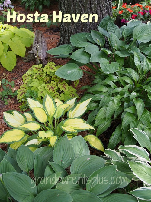 Hosta Haven   grandparentsplus.com