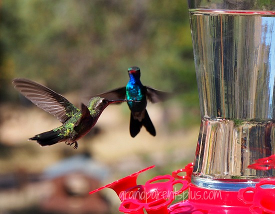 Hummingbirds - Amazing Acrobats   grandparentsplus.com