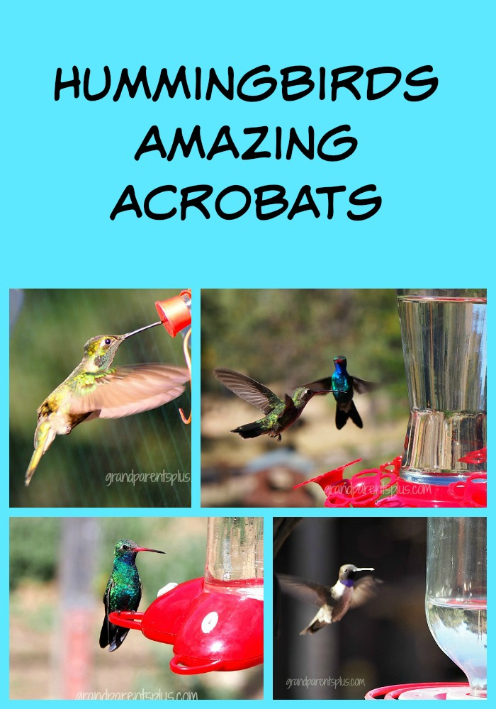 Hummingbirds- Amazing Acrobats  grandparentsplus.com