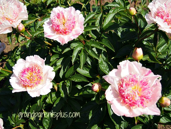 Peonies in Bloom Part 1  grandparentsplus.com