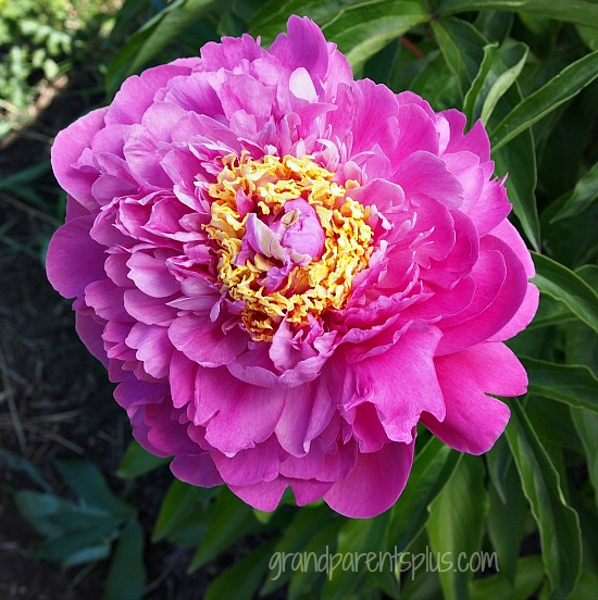 Peonies in Bloom Part 2  grandparentsplus.com